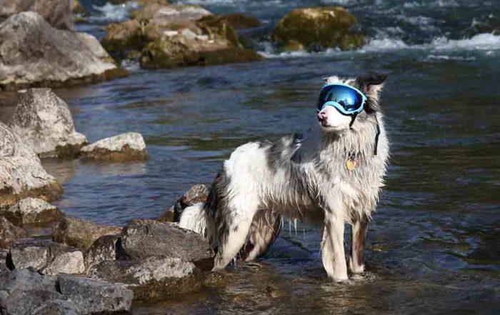隨著獸醫科學的進步,家中所飼養的寵物也越來越長壽,但是隨著愛犬的年齡增長,身體各部位的退化也成為了許多飼主必須要面對的課題。最先能夠察覺到狗狗初老的現象為眼睛混濁,除了尋求眼科獸醫協助外,日常配戴狗狗護目鏡也是必備的物理性治療。然而,狗狗專用護目鏡種類眾繁多,狗狗護目鏡推薦買哪一個?狗狗護目鏡哪買?以下就讓寵物雜貨舖替...