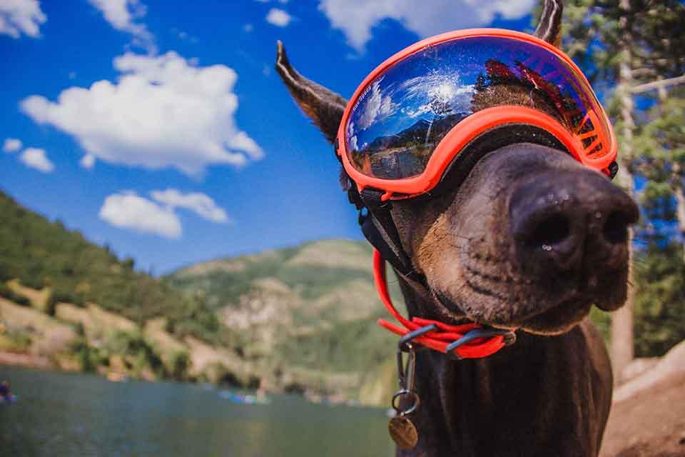 想像過愛犬戴上犬用太陽護目鏡跟您一起散步,經過的路人回頭率百分百並讚嘆不絕的場景嗎?這是許多跟寵物雜貨舖購買Rex Specs 護目鏡的客人常常分享的趣事。犬用太陽護目鏡的功能不只外型酷炫,它必須要具有防風、抗UV、阻擋灰塵沙子進入眼睛,並且可以戴著它從事任何運動,包括水上活動。另外,如果已經患有眼疾,如白內障、核硬化或是…