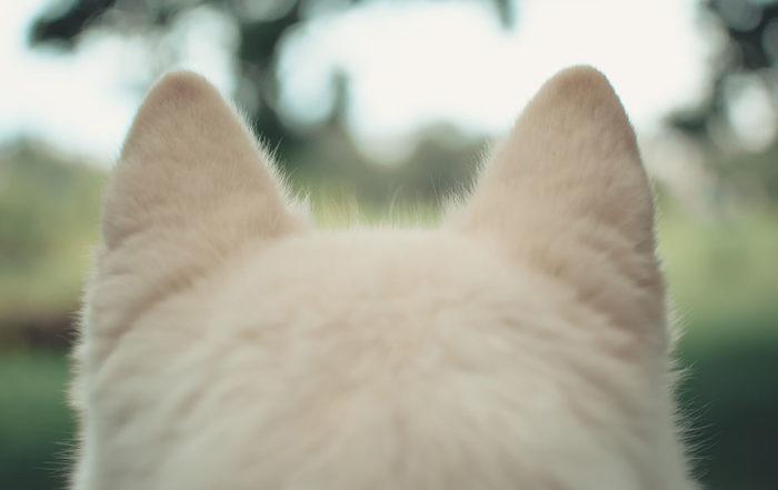 台灣的氣候潮濕,部分垂耳或耳內毛比較濃密的犬種,會因為耳道不通風容易悶熱,此時就要特別注意耳朵清潔。你知道狗狗耳朵日常清潔沒做好,恐導致狗狗耳朵產生異味甚至是狗耳朵發炎嗎?由此可見,固定幫狗狗耳朵清潔並保持乾爽才能保持狗狗耳朵健康。不過,究竟狗狗耳朵發炎原因為何?當狗狗耳朵發炎時會出現哪些症狀?以下就讓台北寵物店寵物…