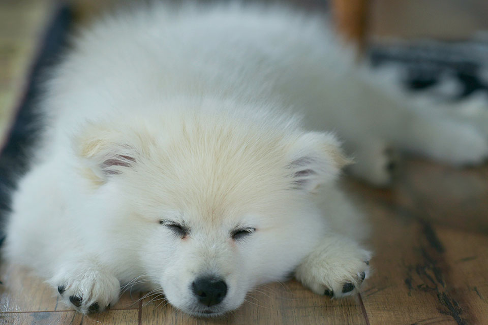 相信每一位狗主人都知道耳朵清潔的重要性,但很多狗狗非常排斥耳朵清潔,長期累積下來狗狗耳朵臭味就會撲鼻而來。有些犬種天生擁有健康的耳朵幾乎不用清潔,但有些特定的犬種如巴塞特、可卡等垂耳狗是最容易有狗狗耳朵很臭的問題。什麼原因會導致狗狗的耳朵很臭?以下為Pets Zakka寵物用品店整理出幾點會導致狗狗的耳朵很臭的原因一、耳垢每一隻狗狗…