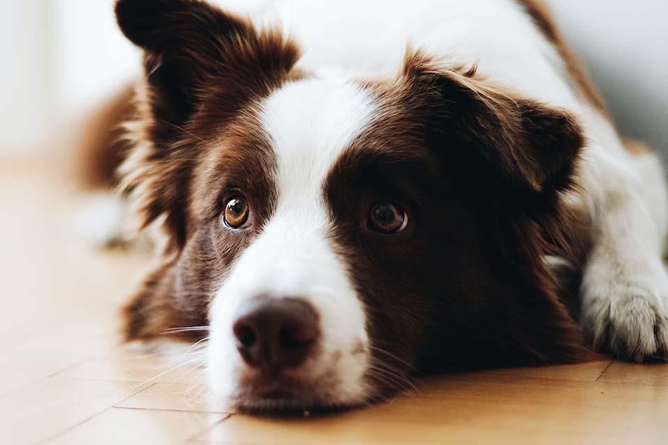 狗狗不論是幼犬還是老犬,都需要給予適當的保健食品來保養。那麼老狗保健又需要什麼樣的老狗保健食品做輔助呢?年紀大的狗狗代謝變差,腸胃消化道、關節、心臟、眼睛等各個器官都也都跟著退化,如果單靠飼料所提供的營養素恐怕是不夠的。因此,市面上有專門給老犬吃的綜合維他命,也有針對關節、眼睛的老狗保健食品。老狗保健食品ptt版上網友…