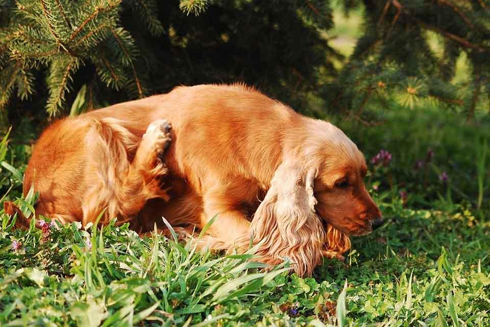 欲避免狗狗癢抓不停,你應該先做好日常狗癢皮膚保健!