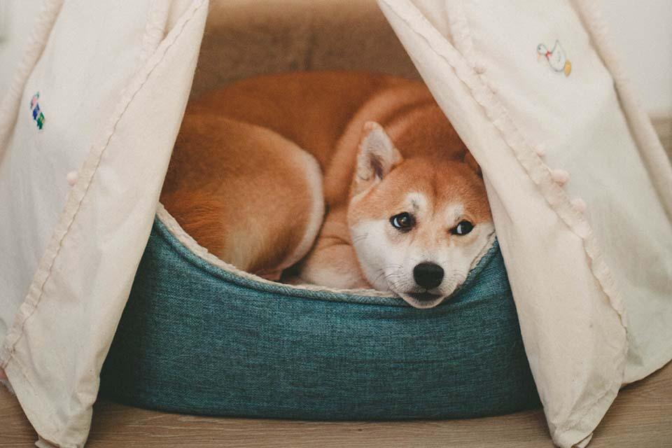 狗狗擁有敏感性肌膚,每次抓癢總把自己抓到受傷,看在飼主眼裡好心疼,別擔心,讓優美登藍油減緩狗狗搔癢。常常在門市看到狗狗抓癢的模樣,有一些狗狗因為太癢了以至於直接用身體在地上磨蹭,雖然三天兩頭就會看到類似的狀況,但是還是不免為狗狗感到很心疼,同時也非常理解飼主的矛盾心情。只要一搔癢就打針吃藥,長久下來飼主都會質疑自己這…