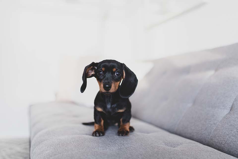 留意臘腸狗胸背帶細節,才能避免買到品質不佳的臘腸狗背帶