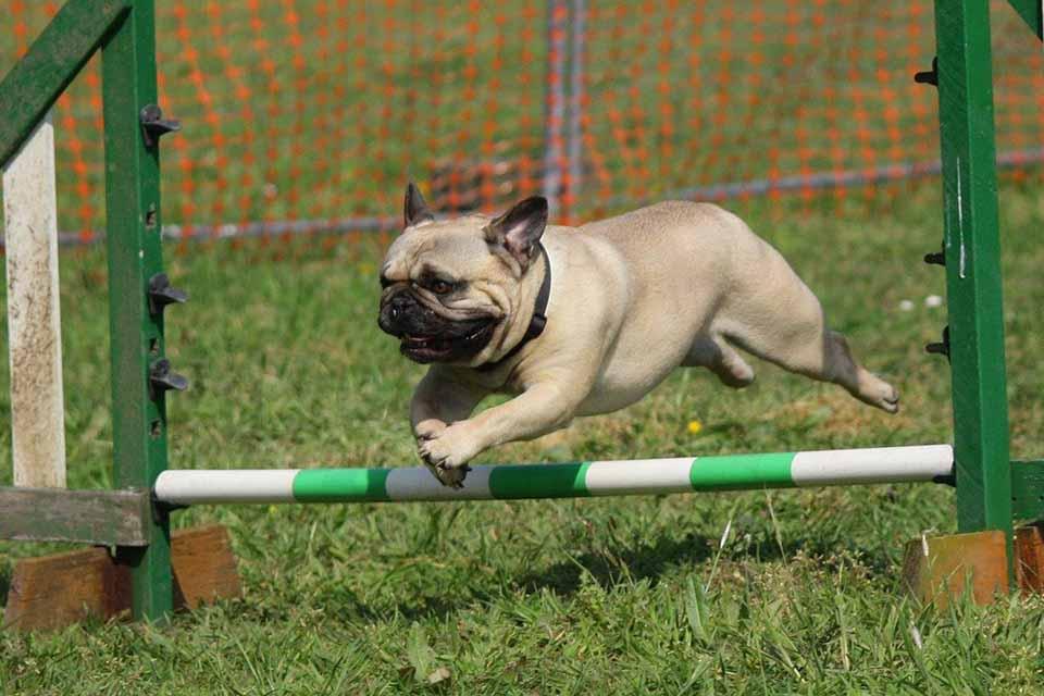落實狗狗髖關節保養,減少狗髖關節出現退化現象