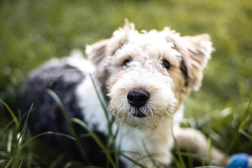 急!狗狗眼睛睜不開或是狗狗眼睛半開,這樣是發生什麼事?