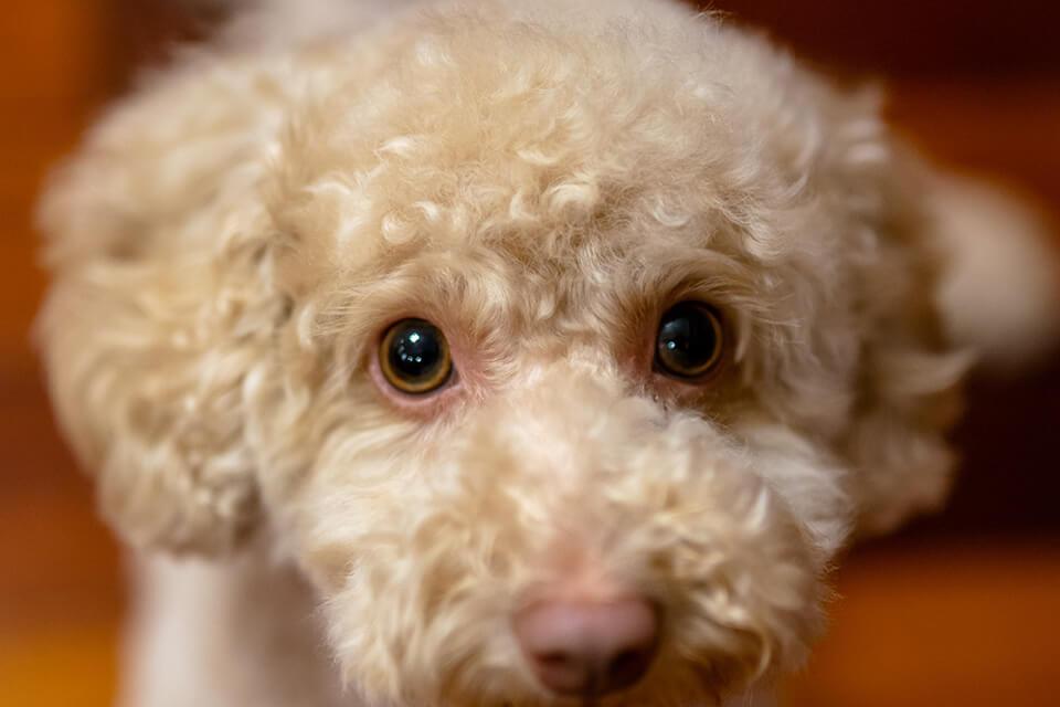 狗狗乾眼症可以怎麼保養與治療?保養狗狗眼睛,主人必須看